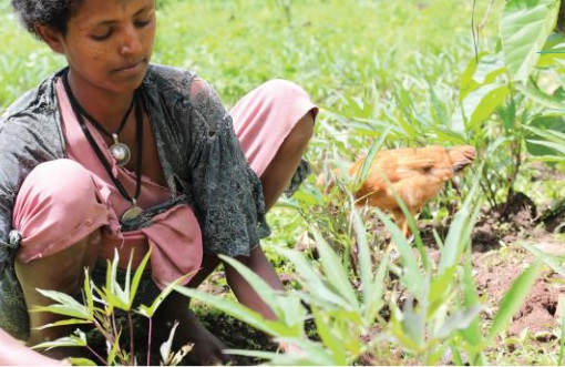 Figure 1 Yeshiwork Abebaw cultivates mung beans in her native North Gondar District